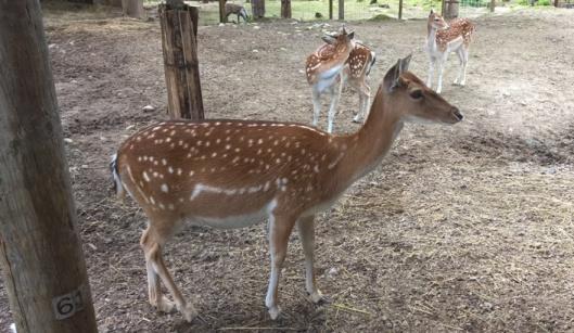 Täpläkauris eli bambi.