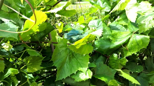 Havainnekuva siitä, että joku, nimittäin viinirypäle, tuntuu viihtyvän kylmemmässäkin kesäsäässä.