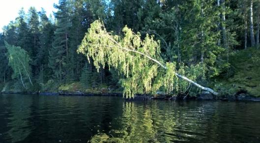Viikinsaaren vieressä on Lehtisaari. Kaatumassa olevan koivun alle oli pakko soutaa. Saari muutenkin näytti oikealta satumetsäsaarelta.