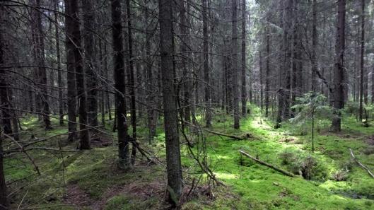 Aurinko siivilöityy metsään.